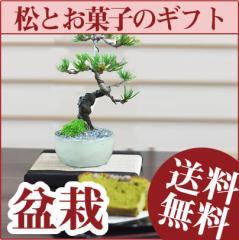 【父の日】松の盆栽とお菓子のギフトセット【送料無料 メッセージカード無料 京菓子 五葉松 ミニ盆栽 入門 初心者 これから 始める 贈り