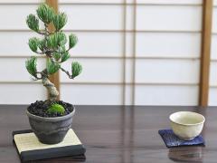 松盆栽 四国五葉松 威風凛凛【ミニ盆栽 盆栽 bonsai 松 趣味 ボンサイ 鉢植え 松柏 和 庭 盆栽妙 専門店 】