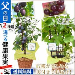 父の日 ギフト 送料無料 選べる2種類! 健康果実 ぶどう もしくは プルーン 6号(実付き) の鉢植え〜バスケット付き!果樹