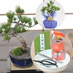はじめての盆栽 五葉松と道具セット 樹齢7年のしっかりした枝ぶり本格的な盆栽と切れ味バツグンの盆栽鋏がセットに