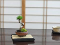 盆栽 九重五葉松【ミニ盆栽 bonsai ぼんさい ごようまつ 初心者 入門 ギフト ラッピング 人気】