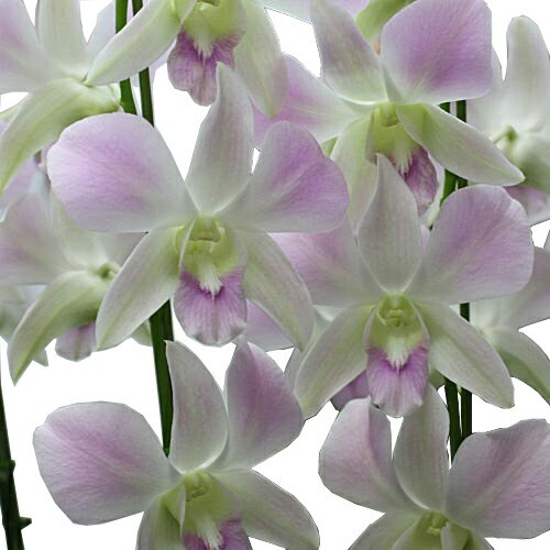 花【デンファレ】【淡いピンク系】7号5本立て鉢植...