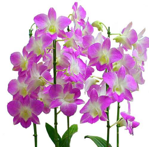 花【デンファレ】【ピンク系】7号5本立て鉢植え ...