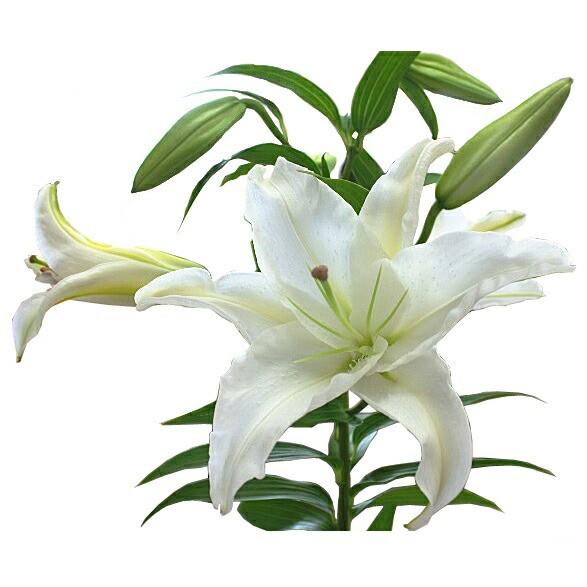 花【カサブランカ】白いゆりの花【白】6号3本立て...