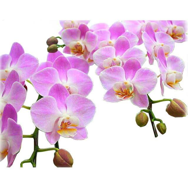 花【胡蝶蘭】【ピンク系】ミディ3本立て鉢植え 観...