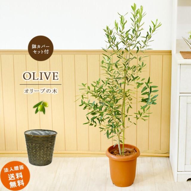平和のシンボル オリーブの木 中型8号 鉢植え(籐...