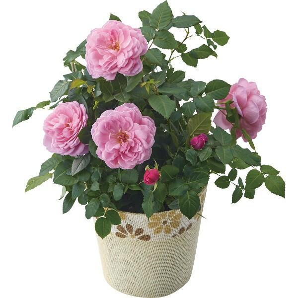 バラ鉢植え アワラストサマー 母の日 室内装飾品 ...