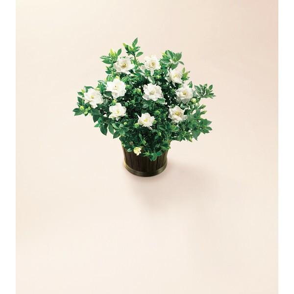 ガーデニア鉢植え 母の日 室内装飾品 花・グリ-ン...