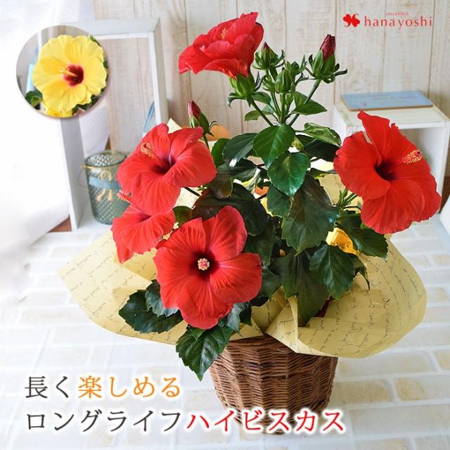 モリヒロ園芸さんの季節の鉢花ハイビスカス 選べ...