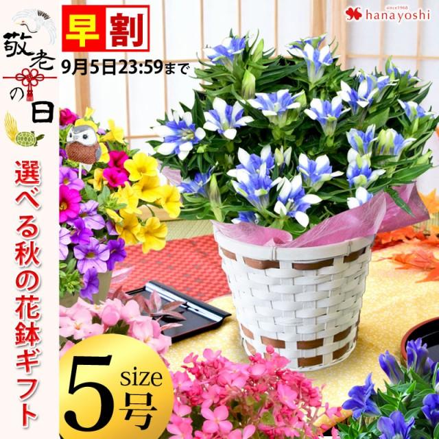 早割 敬老の日 ギフト 花 におい桜かりんどう 白寿 カリブラコア 寄せ鉢 から選べる大きな5号鉢 バスケット付 つぼみがちな状態でお届け