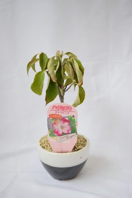 【ライム】果樹 インテリアグリーン 鉢植え 庭...