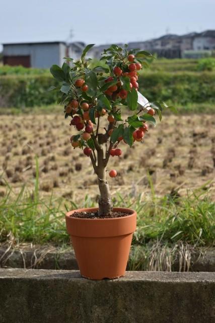 姫リンゴ鉢植え リンゴ鉢植え 9月から11月は ...