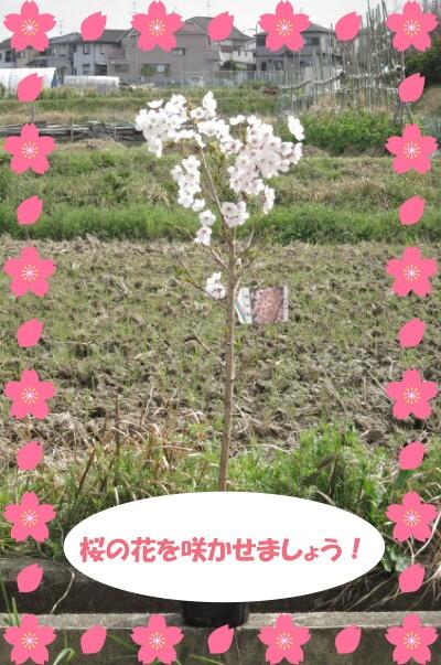 植樹に2021年4月に開花苗【染井吉野桜】ソメイヨ...