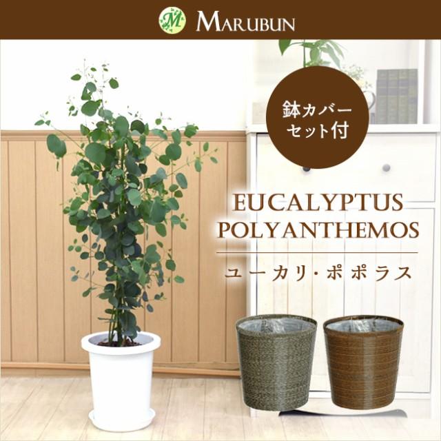 ユーカリ・ポポラス(ポリアンセモス)中型8号 鉢...