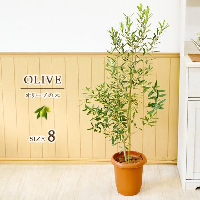 平和のシンボル オリーブの木 中型8号 鉢植え プ...
