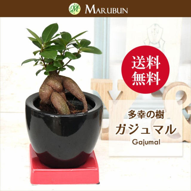 【送料無料】多幸の樹 幸せを呼ぶガジュマル ミニ...