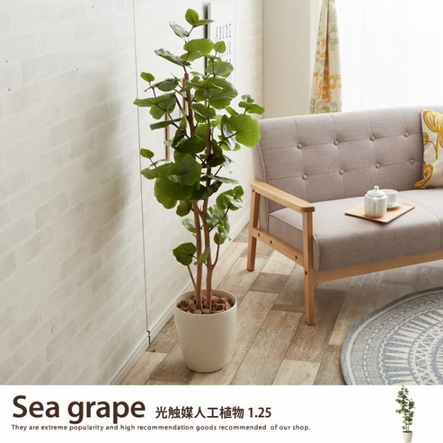 【g46030】観葉植物 シーグレープ sea grape 室内...
