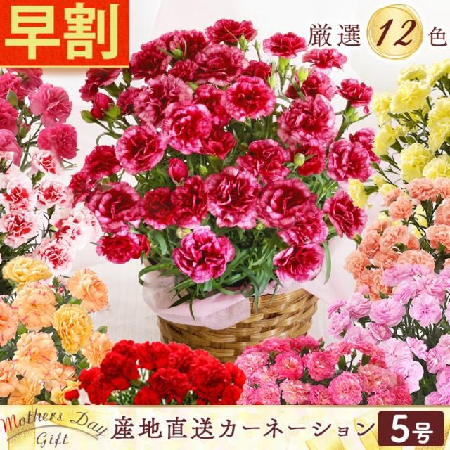【ポイント5倍】早割 母の日 カーネーション 5号 ...
