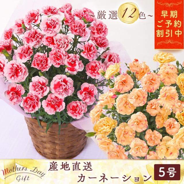 【早割】母の日 カーネーション 5号 鉢花 花 ギフ...