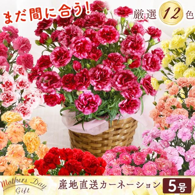 [ポイント5倍]母の日 カーネーション 5号 鉢花 花...