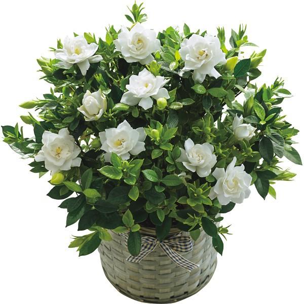母の日 花 鉢植え ギフト 送料無料 ガーデニア鉢...