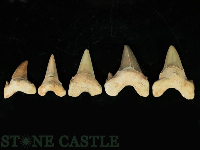 【天然石 化石】鮫の歯 (大)