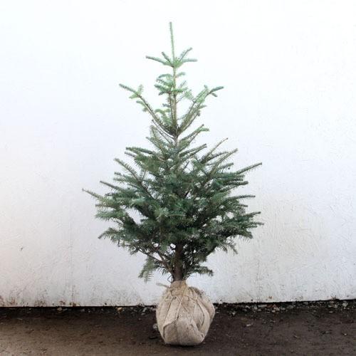 もみの木 (ウラジロモミ) 樹高1.8m前後 (根鉢含ま...