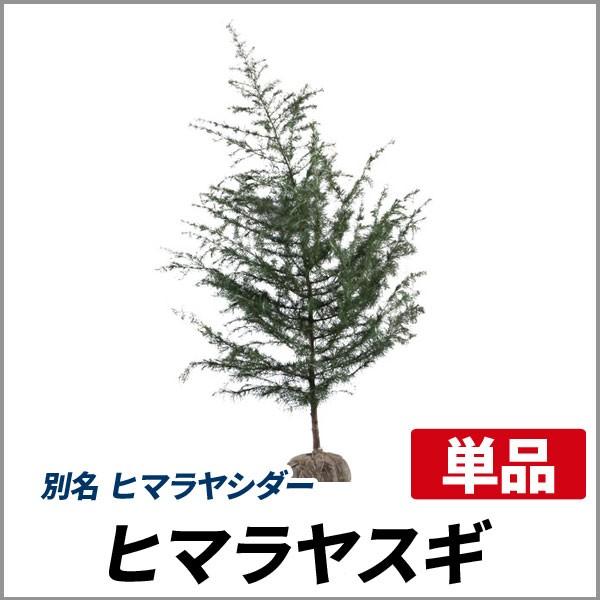 ヒマラヤスギ 樹高1.8〜2.0m前後 (根鉢含まず)