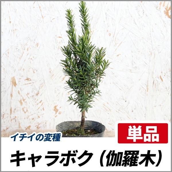キャラボク 樹高20cm前後 単品 イチイの変種 生垣...