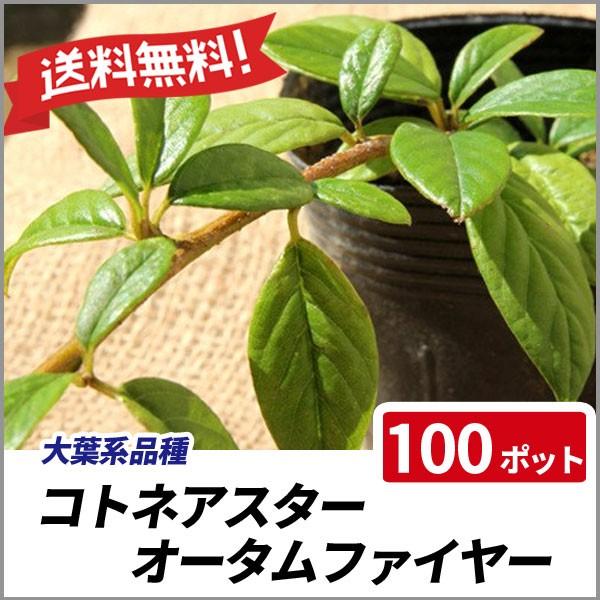 送料無料 コトネアスター オータムファイヤー 100...