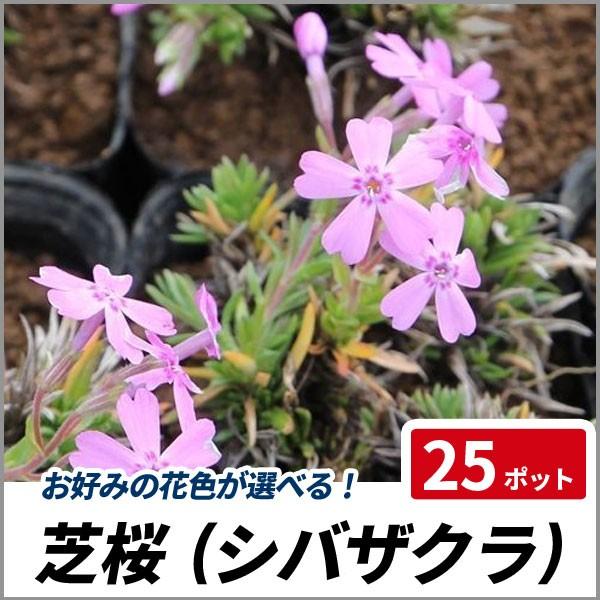 シバザクラ 芝桜 25ポットセット グランドカバー ...