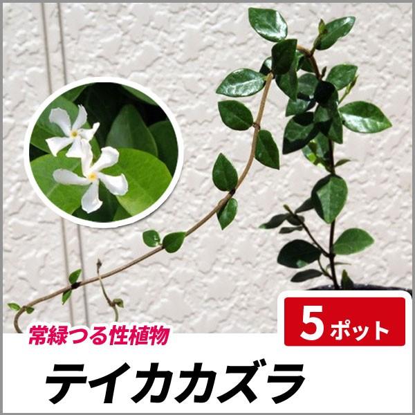 テイカカズラ 5ポットセット 常緑 グランドカバー...