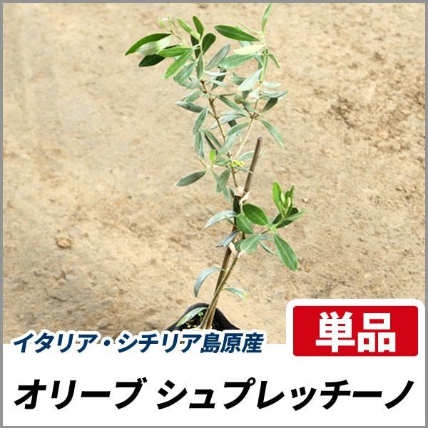 オリーブ シュプレッチーノ 樹高30〜50cm前後 (チ...