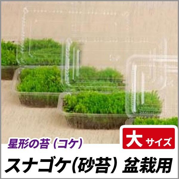 スナゴケ 盆栽用 大サイズ(容器サイズ120mm x 192...
