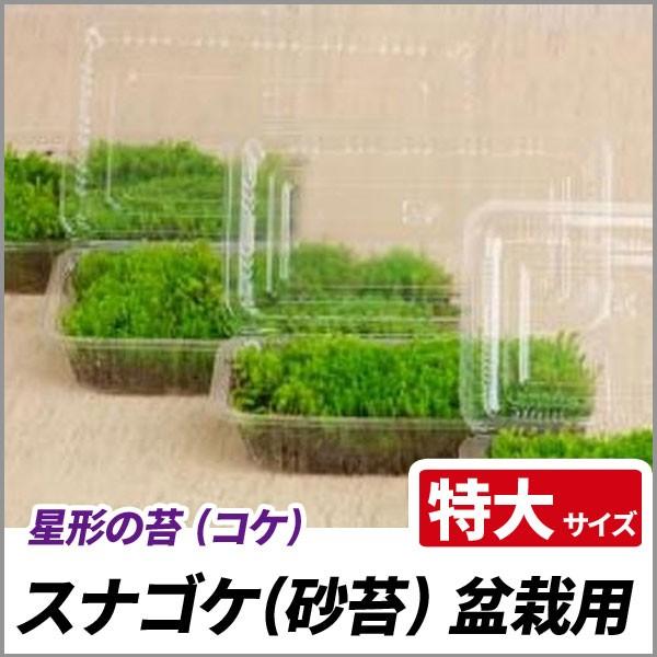 スナゴケ 盆栽用 特大サイズ(容器サイズ138mm x 2...