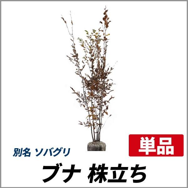 ブナ 株立ち 樹高1.8〜2.0m前後 (根鉢含まず)