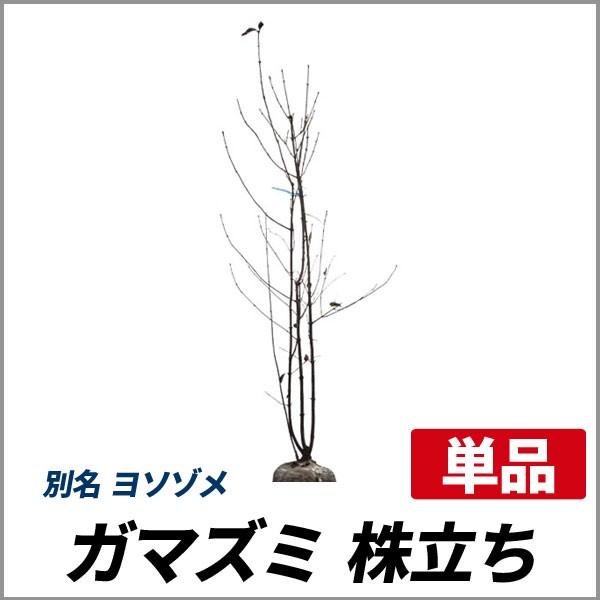 ガマズミ 株立ち 樹高1.8〜2.0m前後 (根鉢含まず)...