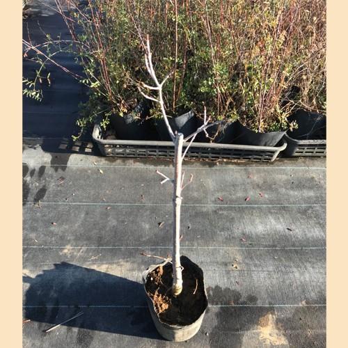 【数量限定大特価】 ミズナラ 樹高50cm前後 単品