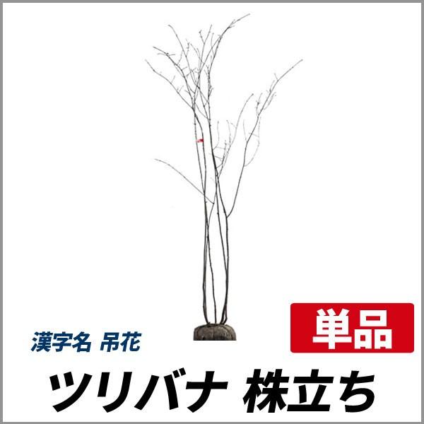 ツリバナ 株立ち 樹高1.2〜1.5m前後 (根鉢含まず)...