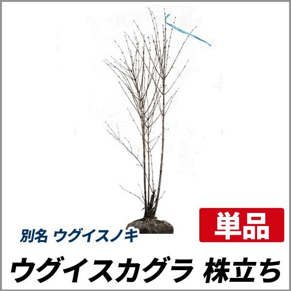 ウグイスカグラ 株立ち 樹高1.0〜1.2m前後 (根鉢...