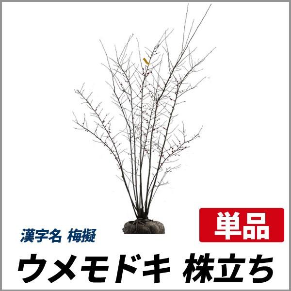 ウメモドキ 株立ち 樹高1.2〜1.5m前後 (根鉢含ま...