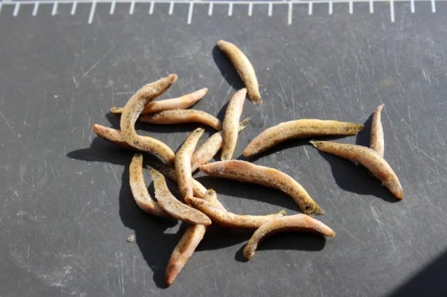 ミャンマー産バラ冷凍ドジョウ Sサイズ(4〜6.5...