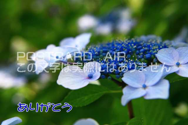 【感謝のポストカード】「ありがとう」アジサイ紫...
