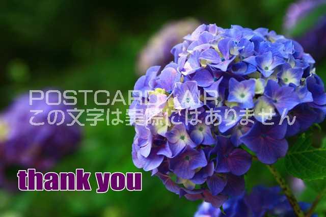 【感謝のポストカード】「thank You」アジサイ紫...