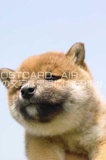 【限定犬のポストカード】  可愛らしい柴犬の子犬...