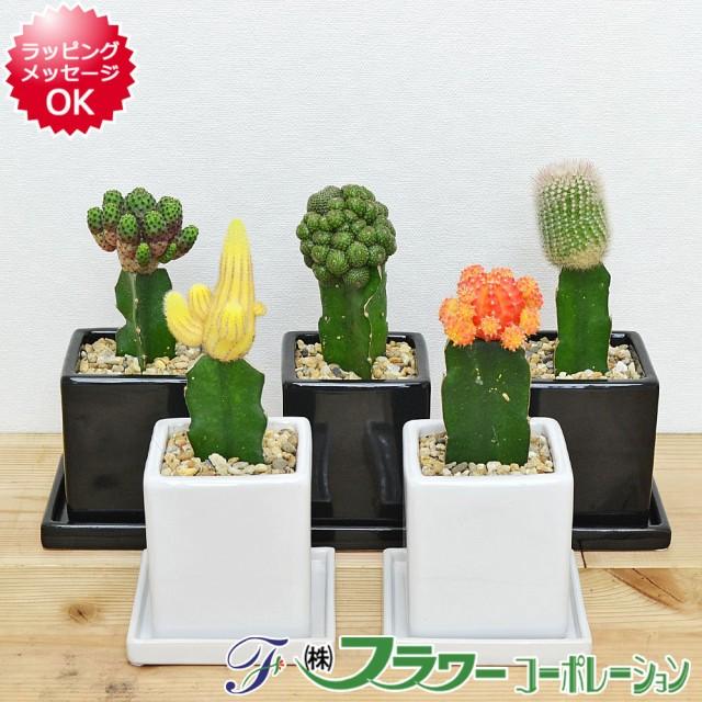 【送料無料】選べるサボテン キューブ陶器鉢植え