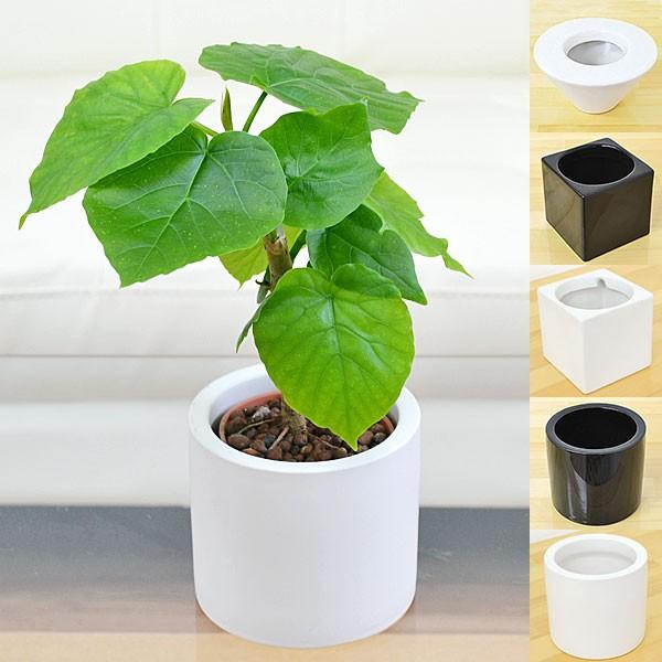 【送料無料】ミニ観葉植物 フィカス・ウンベラー...