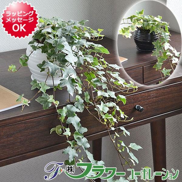 【送料無料】観葉植物 アイビー(ヘデラ)ロング ボ...