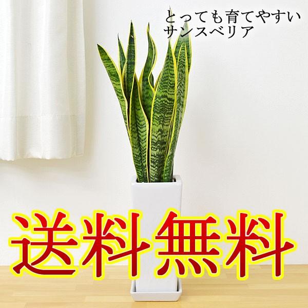 【送料無料】観葉植物 サンスベリア 陶器鉢植え【...