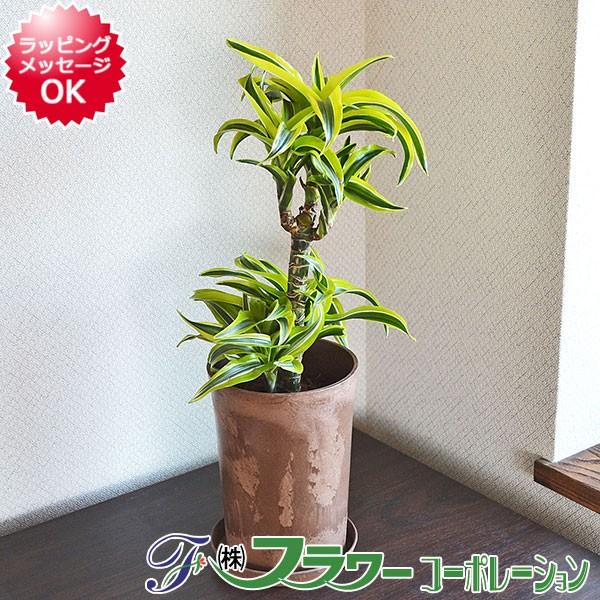 【送料無料】観葉植物 ドラセナ・レモンサプライ...